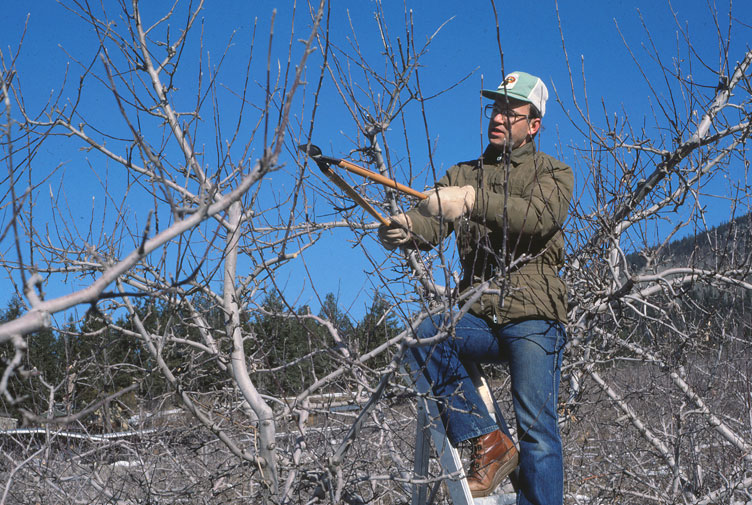 Richard pruning apples in Similkameen Valley 1977