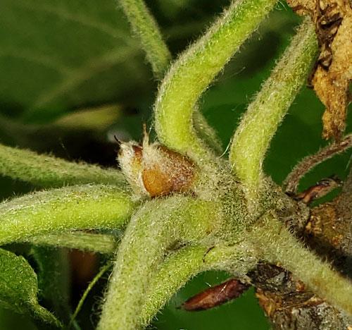 Developing Liberty Flower Bud June 27