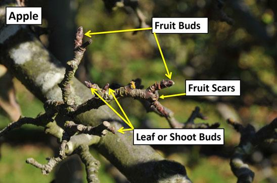 Dormant Apple Buds