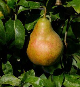 Mature Pear
